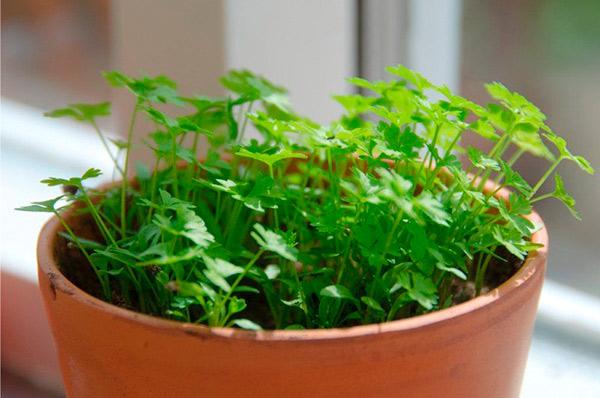 зелень петрушка в домашних условиях