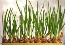 Зелень дома - зеленый лук в горшке